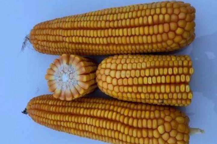 Using CRISPR to develop superior cornhybrids