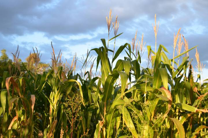 Ohio corn is used for more than food